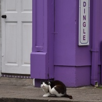 Dingle Cat